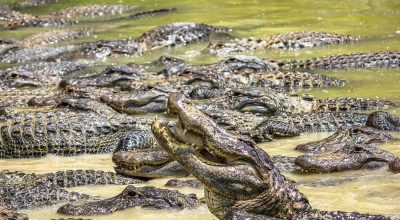 Alligators competing for food in the river in Everglades National Park, Florida, Usa, America.